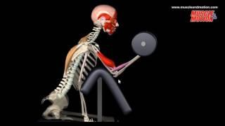 видео Как правильно качать бицепс? Техника основных упражнений.