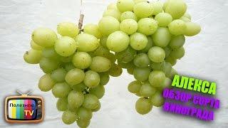 видео Виноград Августин: описание и характеристика сорта