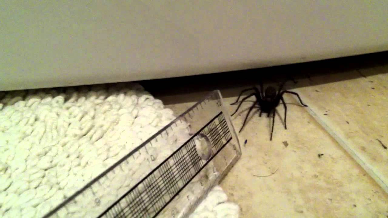 My rather large fast and feisty uk house spider youtube for How to get rid of spiders in the house uk