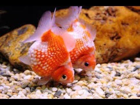 Ping Pong Goldfish