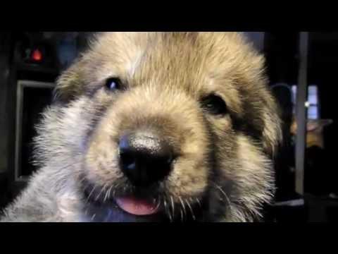 Cola's B Litter at 3 weeks/ Alaskan Noble Companion Dog