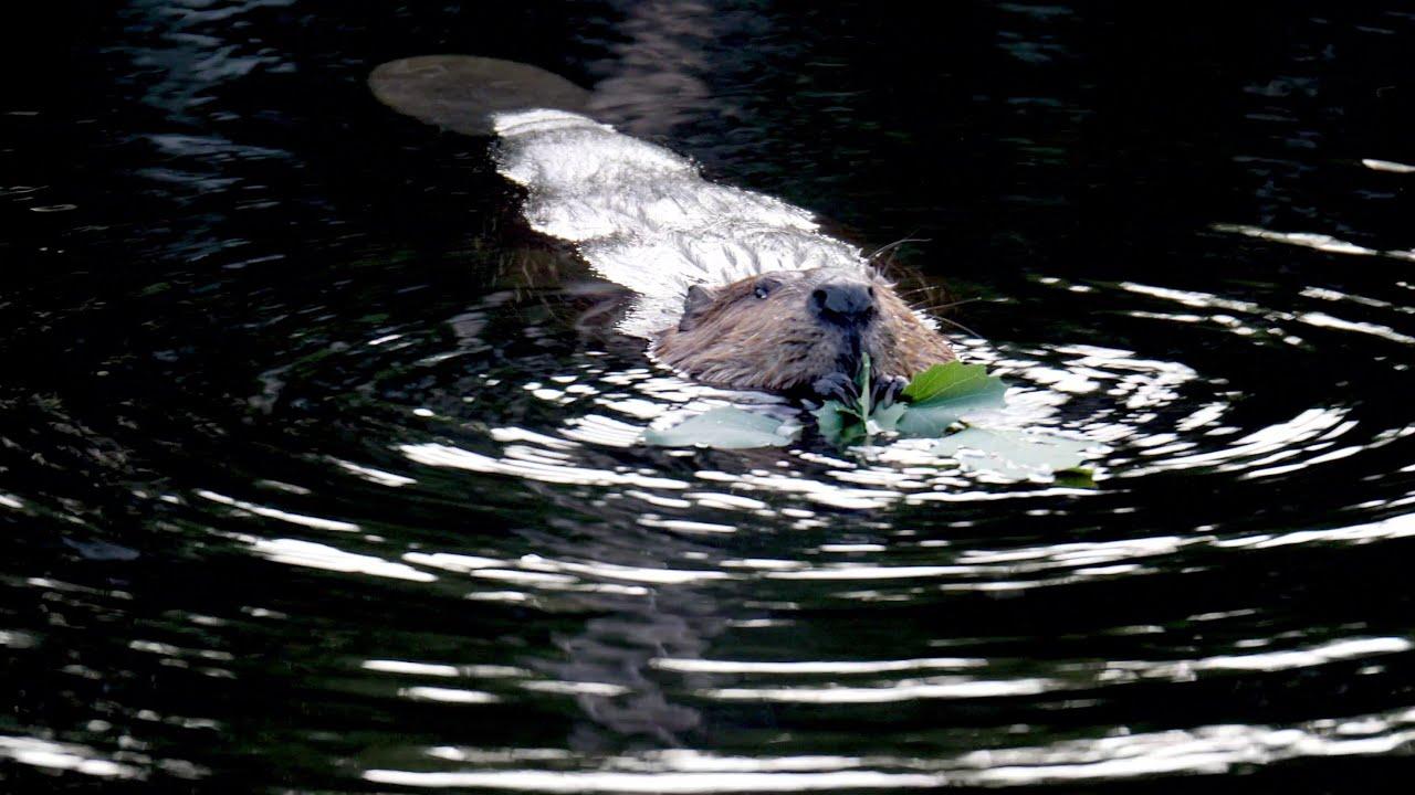 Une histoire de castors de Kmmprod (A beaver story)
