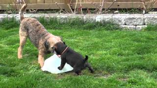 "Kilcreggan Border Terrier ""orange"" Boy Playing With Harris - 5 Weeks 5 Days"