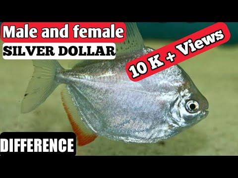 Silver Dollar Fish Male And Female Difference | Male  And Female Silver Dollar Fish .