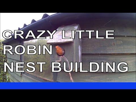 Robin Building Nest in Nest Box