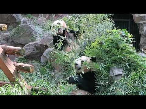 Hangzhou Zoo Cheng Jiu and Shuang Hao 杭州動物園の成就と双好