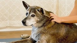 Happy, Healthy Pups! How to Massage Your Dog ♥ Reduce Pain, Anxiety, Hip Tension, Pet Care Tutorial