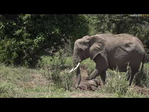 Safari Live Face Book : The Sad Baby Elephant Story told by Jamie Oct 20, 2017