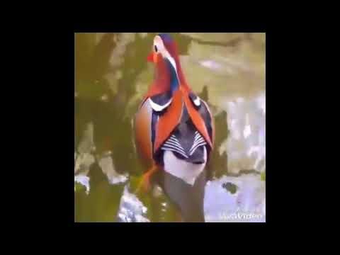 Surkhab Bird Rarest Bird Price