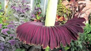 Расцвёл самый большой цветок в мире Amorphopallus titanum flowering!