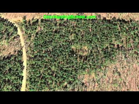 How To Find Deer: Deer Bedding Areas In Pine Thickets