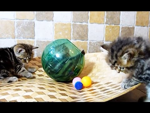 Balls and Furry Balls ( Too Cute Kittens )