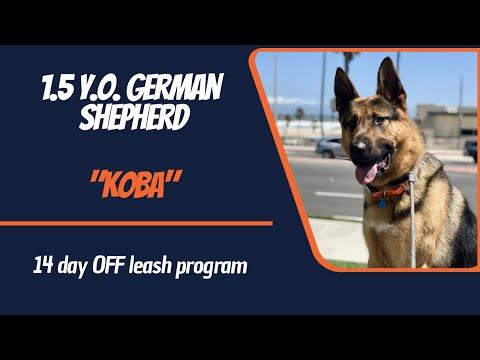 """1.5-y.o-german-shepherd-""""koba""""-2-wk-b/t-with-megan"""
