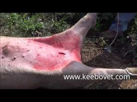 Castration in larger male pig 2 year old with Sedation By a veterinarian