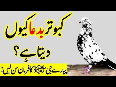 Pigeon rearing according to Islam   Kabotar Bad dua Kab Dita Hai   Islamic Teacher