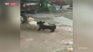 Kavga eden horozları ayırmaya çalışan yavru köpeğin çabası güldürdü