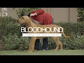 BLOODHOUNDS FIVE THINGS YOU SHOULD KNOW