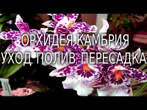 Орхидея Камбрия уход, полив, пересадка.