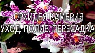 Орхидея Камбрия уход, полив, пересадка.(Всем привет, меня зовут Данил! И я занимаюсь разведением орхидей, в домашних условиях. Своими успехами я..., 2015-12-11T16:27:51.000Z)