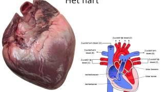 Bloed en bloedsomloop