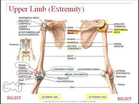 Virtual Lecture Upper Appendicular Skeleton Youtube