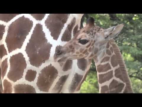 Raw  Baby Giraffe Takes First Steps