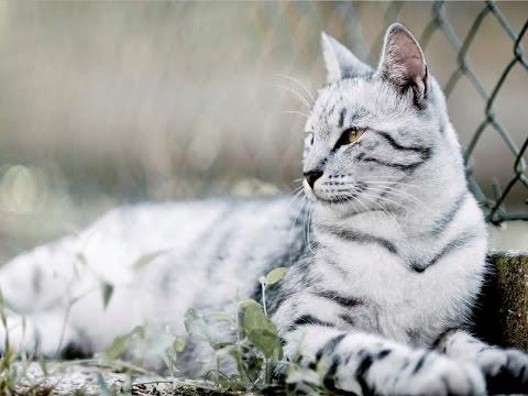 Tiger Cat Breed | Wild Fierce Tiger Cat