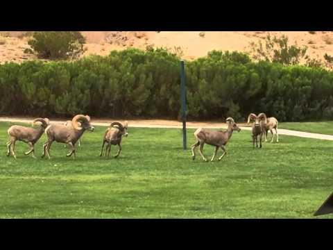 Big Horn Sheep at Hemenway Park Boulder City, NV