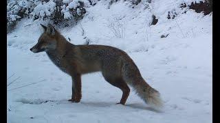 Kurt Vaşak Tilki Araştırması Belgeseli 2016 ( Wolf Lynx Fox Research Documentary 2016 )