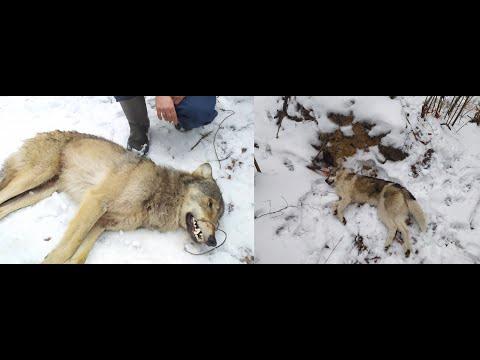 Охота на волка. Волк задавил  собаку на охоте, как это было....