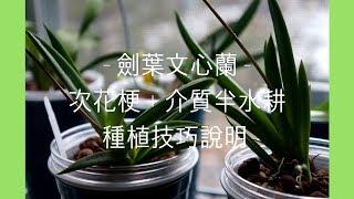蘭花 - 劍葉文心蘭花梗與介質半水耕種植注意事項 | 蘭花種植