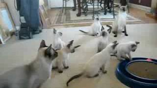 Siamese Kittens Playing With Their Parents! PAHRUMP, NV