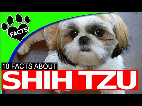 10 Shih Tzu Dogs 101 Facts History Origins Most Popular Breeds - Animal Facts