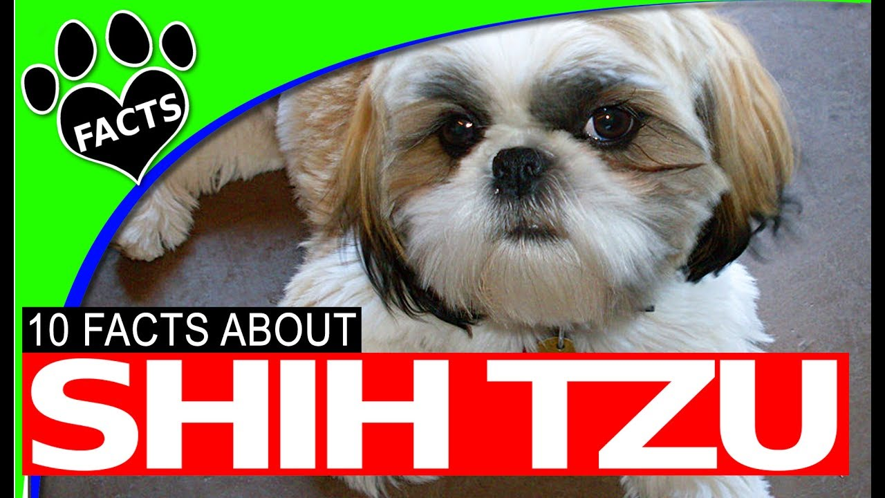 facts about shih tzu dogs 101 shih tzu facts history origins most popular 3874