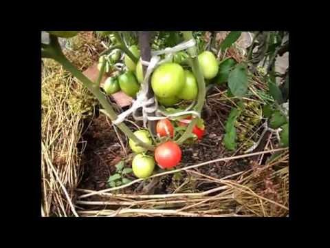 Сорт помидоров ГЛОРИЯ