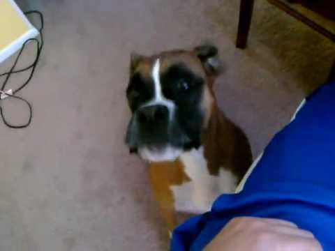 Boxer Dog Throwing A Tantrum- Super Naughty