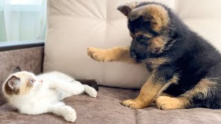 German Shepherd Puppy and Kitten Playing [TRY NOT TO LAUGH]