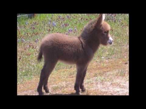 tiernos bebes de burro baby donkeys