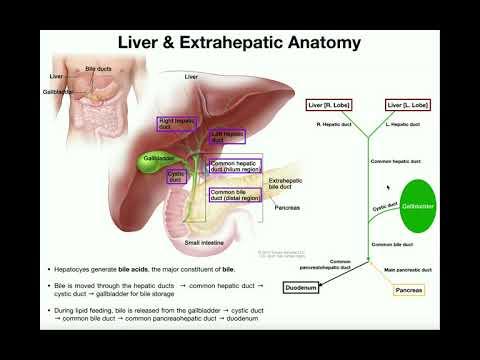 Accessory Organs Of The Small Intestine [Liver, Gallbladder, & Pancreas]