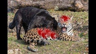Ягуар против Черной Пантеры