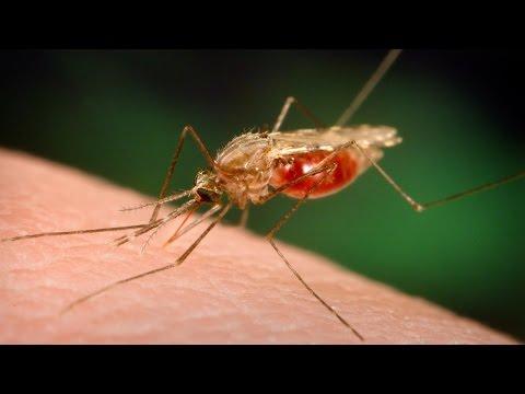 Malaria | Malaria cure | Malaria symptoms | Natural remedies for malaria