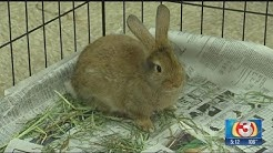 Rescued AZ Humane Society rabbits are ready for adoption