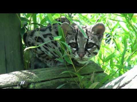 Belize, la femelle Margay du Domaine des Fauves