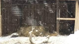 Специальный репортаж. Вятская порода лошадей.mp4(, 2013-01-18T06:46:21.000Z)