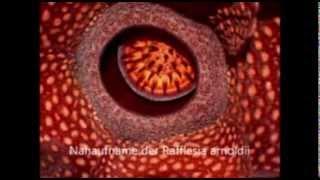 Rafflesia arnoldii - Die größte Blüte der Welt