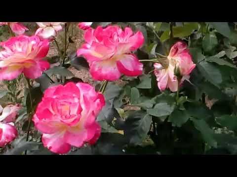 Роза Double Deligh флорибунда # мой сад # розы