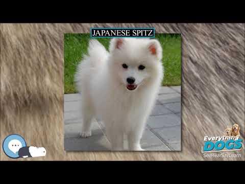 Japanese Spitz  Everything Dog Breeds