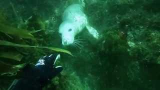 Meet Gracie the grey seal - Isle of Man (go pro)