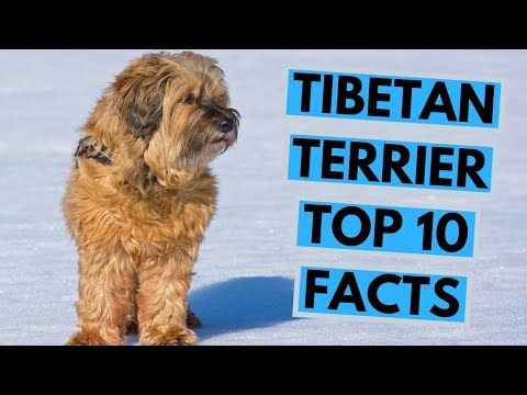 Tibetan Terrier - TOP 10 Interesting Facts