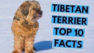 Tibetan Terrier  TOP 10 Interesting Facts